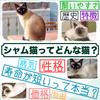 シャム猫ってどんな猫?【性格/値段/特徴/飼いやすさ】などを体験談も含めて詳しく解説!