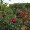 新苗、赤バラ、今日の庭