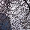 西新宿界隈の桜:常圓寺、ヒルトン東京、新宿中央公園