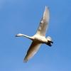 青空に飛ぶコハクチョウ