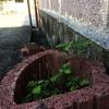 ★植木鉢みたいなものに生えている眠り草みたいな植物