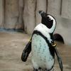 恩賜上野動物園のペンギン