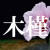 【名前・漢字の由来】むくげの花はアサガオのように一日でしぼむ【木槿】