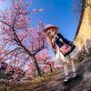 やっぱ写真は最高!河津桜の下で、3ヶ月ぶりのドール撮影してきました!!