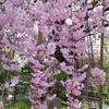 縮景園の桜【広島】【花見】