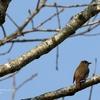 幸せの青い鳥さんを探して オオルリ