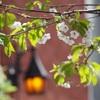 桜の頃の街並み〜ハリポタのお菓子屋さんみたいな可愛いコンビニ【le petit dep】