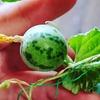 日本の野生のメロン。JMU-4栽培②両性花と短性花