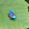 6/23/2018・カシワ林のゼフィルスは美しい輝きを見せたあと、樹上に飛んでいきました