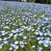 神奈川のネモフィラ。くりはま花の国ポピーまつり、そしてアスレチックざんまい。