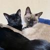 一緒に寄り添って寝るラブラブな猫たち【すみ♀&よもぎ♂】