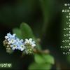 葉をもむとキュウリのにおいがするキュウリグサ 福岡県遠賀郡遠賀町 島津
