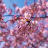 我が家の桜を見る会