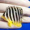 【現物6】シマヤッコ 5.5cm±! 海水魚 生体 15時までのご注文で当日発送【ヤッコ】