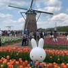 チューリップ&オランダ風車にミッフィーちゃん!佐倉フラワーフェスタ2021-千葉