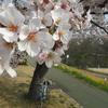 春の小貝川CRをモスモス