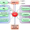 一酸化窒素:NO成分と製品(静脈注射されるNOの増加をもたらすことが示されている商品は経口投与によって摂取されると、ほとんどなんの関係をもたない可能性がある)
