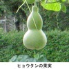 「ひさご」(瓢.ヒョウタン)4  ヒョウタンはユウガオと同種ですが,日本では区別され,毒性のないものを選抜したのがユウガオと説明されます.ただし,食用のヒョウタンも開発されている一方,希に毒性をもつユウガオもあり要注意(苦味のある場合は食べない).日本では10年間に数件の割合で中毒が起こっています.ちなみに.有毒植物による中毒で最も多いのはスイセン.2位がジャガイモ.付録 ウリ科の系統樹.