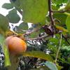 【つれづれ】20160912 柿畑にて/今週のお題「秋の味覚」