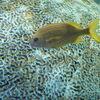 水族館魚図鑑-フレンチグラント(Haemulon flavolineatum)
