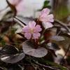 野山で出会う花 VOL.09 「イワウチワ」
