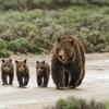 再開されるハイイログマのハンティング あえて狩猟に「参加」しようとする保護活動とは?
