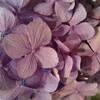 東京にて紫陽花とPHについて考えました!