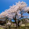 植えられたのは文禄元年(1592):明日の大桜