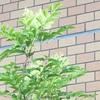 トネリコに花。マンション花壇。