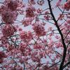 木場公園脇の河津桜は遅咲きも盛りを過ぎました
