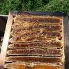 二ホンミツバチの採蜜