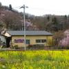 渡利花見山のはなが咲き始めました。今週末が満開か。