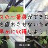 【家庭菜園】ナスの一番果ができた!株を疲れさせないために早めに収穫しよう!