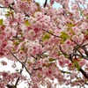 【お花見】造幣局「桜の通り抜け」に行ってきた【大阪】
