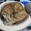 6月後半の #ねこ #cat #猫 どらやきちゃんB