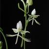 Pectabenaria 'Unregistered' F2
