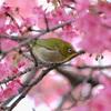 【京都】関西で早咲き桜 河津桜