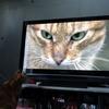 7月前半の #ねこ #cat #猫 どらやきちゃんA