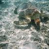 沖縄旅行記③渡嘉敷島・日帰りプラン!「とかしくビーチ」にてウミガメと遊泳!