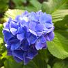come on! 川崎 妙楽寺の紫陽花、今週末が「見頃限界」& 御朱印収集のための「代参?代取?」を吠える
