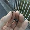 ヘビの赤ちゃん(たぶんシマヘビ)