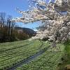 信州安曇野「大王わさび農場」の春、桜とわさび田の絶景。