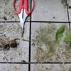 【生命力】ミニ盆栽レビュー 部屋の中でクヌギの大木を小さく育てる~初心者のチャレンジ<7>~おとなの自然観察~