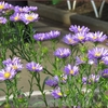 センブリの花に会いに、東京都薬用植物園へ