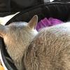 【猫さん】予防接種へ行く【動物病院】
