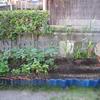 【家庭菜園】トウモロコシとつるなしインゲンの株に支柱を立てました