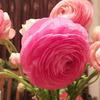 ピンクのラナンキュラス。飾らない美しさ。