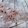 桜で心をリフレッシュ!目黒川沿いのおすすめスポット!