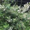 【斑入り葉がモダン!】初心者でも育てやすい庭木『シルバープリペット』の2年間の成長と開花