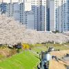 【ソウル・桜の穴場】シンドリム(신도림/新道林)・安養川の桜並木